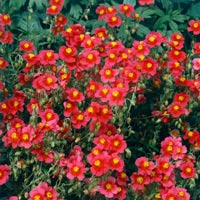 6 Helianthemum (Sun Rose)