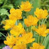 6 Trollius Golden Queen