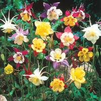 6 Aquilegia Mixed