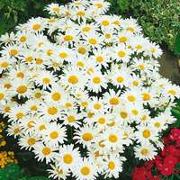 6 Marguerite Silver Princess