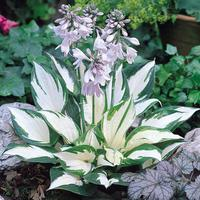 3 Hosta Fire and Ice