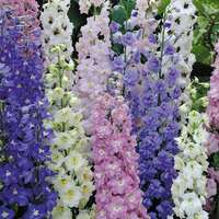 6 Delphiniums mixed