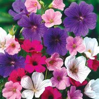Geraniums Hardy Mixed