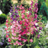 6 Penstemon barbatus 'Cambridge' Mix
