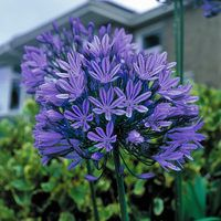 5 Agapanthus Blue Peter