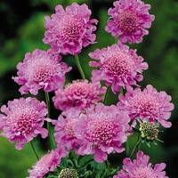 3 Scabiosa Pink Diamond