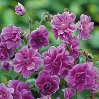 Geranium Birch Double