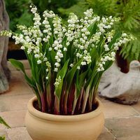 10 Giant Lily of the Valley