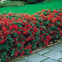 10 Pyracantha (Fire Thorn)