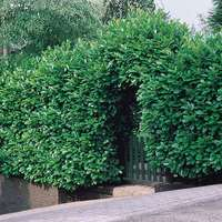 Laurel Common Hedging (Prunus rotundifolia)