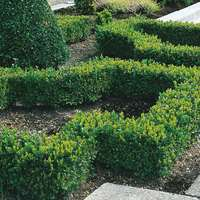 10 Box Hedging (Buxus