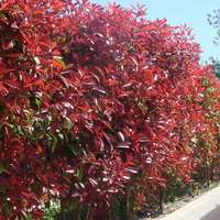 5 Photinia Red Robin Hedging