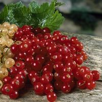 3 Red Currants Red Lake