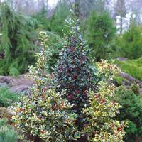 4 Holly Ornamental Ilex Collection