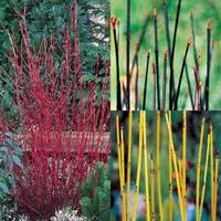 3 Cornus Collection