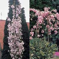 2 Japanese Flowering Cherries