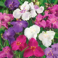6 Tradescantia Mixed