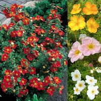 4 Potentilla Collection