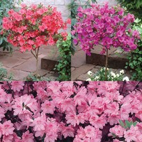 3 Azalea Half Standard Collection