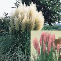 2 Pampas Grass Collection