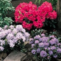 Rhododendron Dwarf Collection
