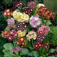 6 Primula Auricula Mixed