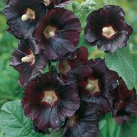 Black Hollyhock (Alcea)