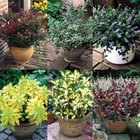 6 Dwarf Evergreen Shrub Collection