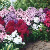 6 Phlox Paniculata Mixed