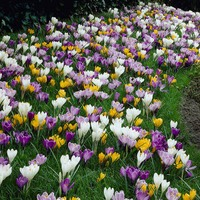 50 Large Flowering Crocus Mix 7-8cm