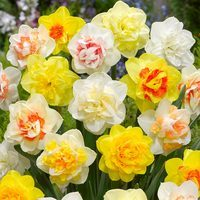 50 Double Daffodils Mixed 12/14