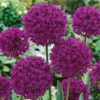 15 Allium Purple Sensation