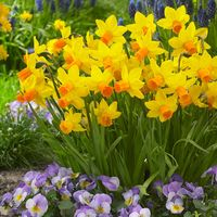 Narcissi Jetfire 10/11cm Bulbs