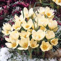 25 Crocus chrysanthus Cream Beauty