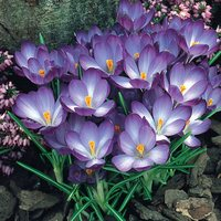 25 Crocus Ruby Giant 5-6cm