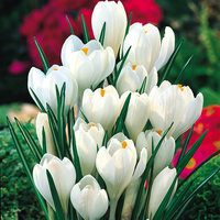 25 Crocus Joan of Arc 7/8cm