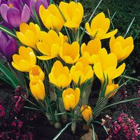 25 Crocus Yellow Mammoth 7/8cm