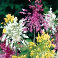 15 Firework Allium Collection