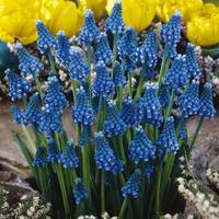 50 Muscari Blue Magic