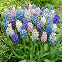 Muscari Mixed