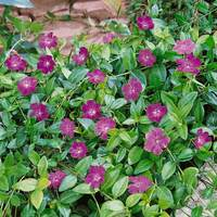 3 Vinca Minor Atropurpureum