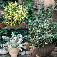 3 Euonymus Collection