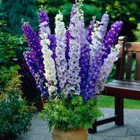 6 Delphinium Blue and White