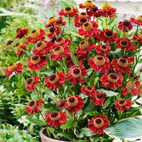 3 Helenium Ruby Tuesday
