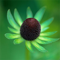 6 Rudbeckia Green Wizard