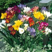 25 Single Freesias Mixed
