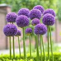 3 Allium Gladiator