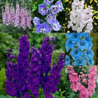 6 Delphinium Pacific Giant Collection