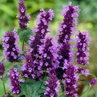 3 Agastache Black Adder