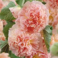 3 Alcea Peaches 'n Dreams